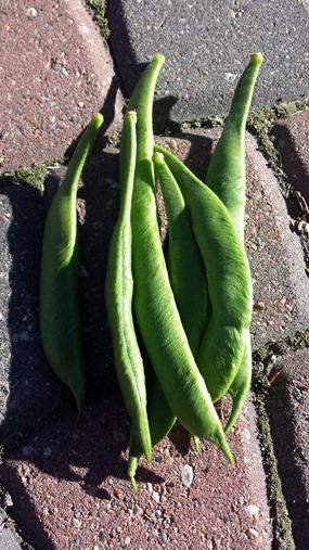 Beans from Garden September 2014