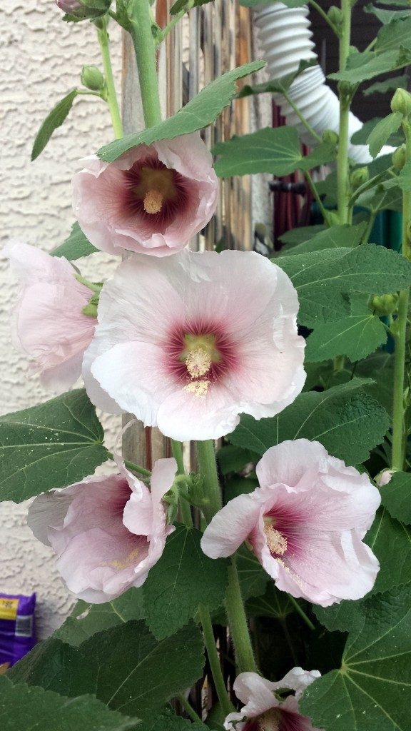 Hollyhocks July 23 2015